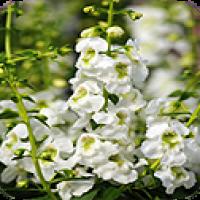 אנג'לוניה